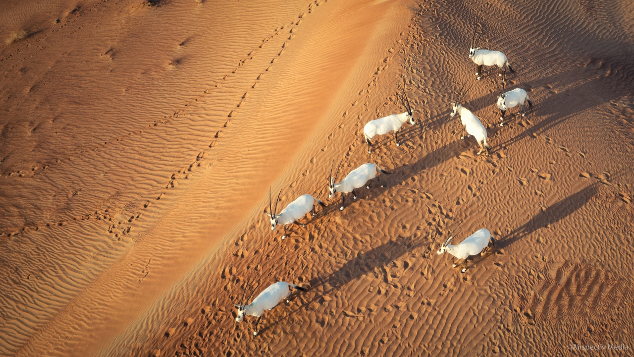 Shadows give the sand a texture and most importantly, make the Arabian Oryx stand out. This was shot with a Sony NEX-7 at ISO 400, f/5.6, at a fairly low altitude. Image was then cropped around the Oryx to take advantage of the 20MP sensor & show more detail.